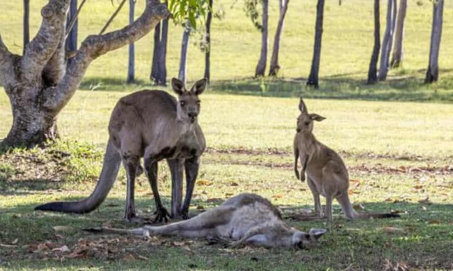The dead female kangaroo lies on the ground.