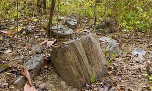 Pertrified tree trunks at Puyango Petrified Forest, Ecuador.