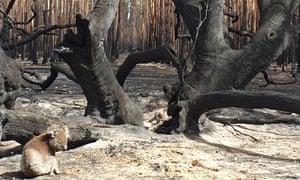 Lone koala in burnt forest on Kangaroo Island