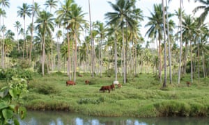 The seaward half of the Natoavatu Estate in Fiji is used mostly to raise cattle and collect coconuts for copra. The land was purchased by Kiribati in 2014, ostensibly as a refuge for its citizens displaced by climate change, but will now be converted into a farm to help feed the nation.