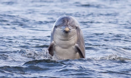 Most dolphins are 'right-handed', say researchers