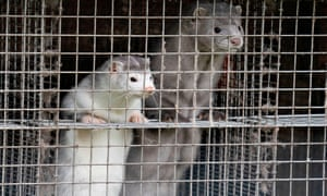 Covid-19 infected minks were first discovered in the Netherlands, on multiple farms.