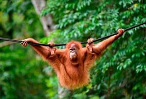 A Sumatran orangutan swings on a line in Jantho, Indonesia