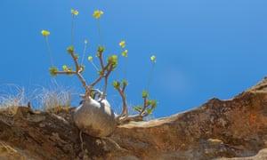 the rare and endangered Pachypodium rosulatum.