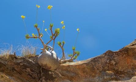 Web alert: the rare and endangered Pachypodium rosulatum.