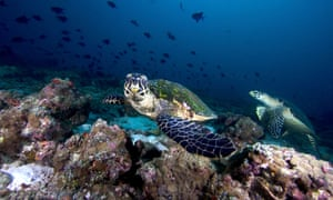 Hawksbill sea turtles on a reef in the Maldives.