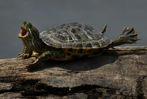 A turtle basks in the sun at Huntley Meadows, a nature park in Alexandria, US