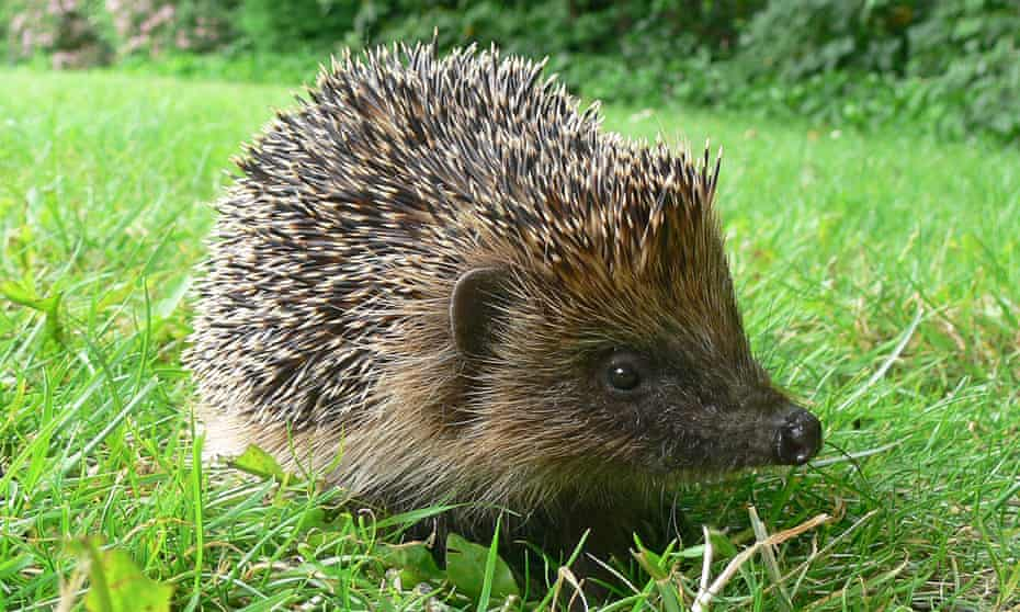 A new study shows that an animal once ubiquitous in our fields and lanes is facing extinction.
