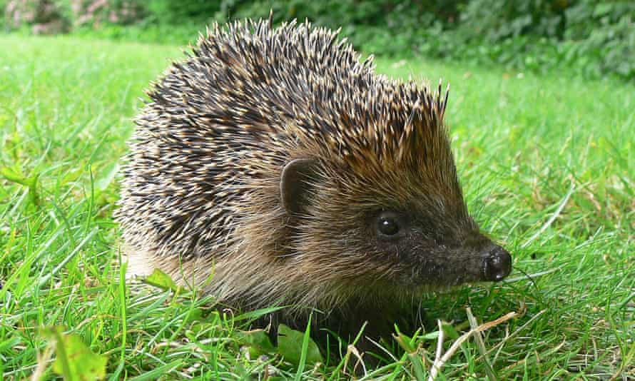 Hedgehogs were spotted in fewer gardens for the third consecutive year in the RSPB's annual survey.