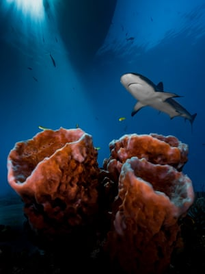 Up & coming underwater photographer of the year. Winner, up & coming worldwide category. 'Three Pillars - Practice, Patience & Luck!' by Pier Mane (South Africa) Location: Tiger Beach, Bahamas'Weary of shooting sharks head-on ... I decided to turn away from the peak action ... I wanted sun rays, dramatic foreground, background perspective, and - the cherry on top - to capture the 'master of the house' in all of its mystique. The three sponges were well-positioned to set the scene and it took countless shots to balance the elements; but perseverance, patience and practice all paid off.'