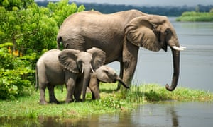 African elephants in Uganda. In some places populations have fallen by as much as 80%.