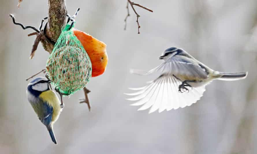 Two blue tits feed in a winter garden
