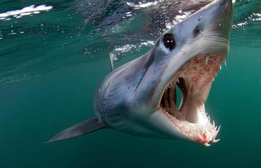 The shortfin mako shark are valued for both their meat and fins