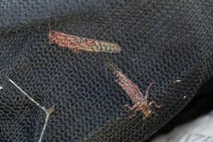 Desert locusts are caught in a net near the town of Rumuruti, Kenya, February, 2021.