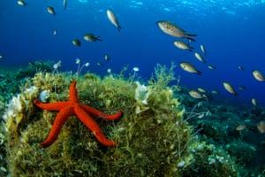 red starfish and damselfish