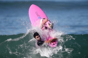 Surf City Surf Dog Competition In Pictures Life And Style - Brandy the award winning surfing pug