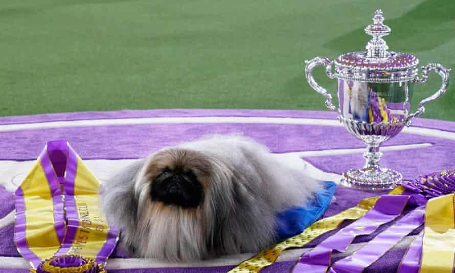 Hot dog: Pekingese named Wasabi wins best in show at Westminster Dog Show | Westminster  Dog Show | The Guardian