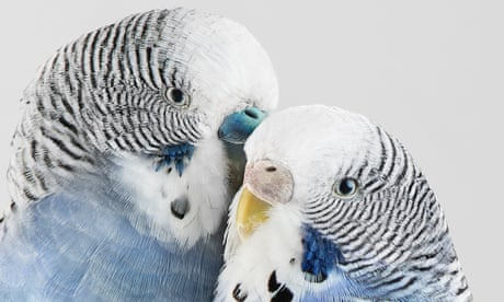 Living colour: the intricacy and beauty of budgies – in pictures