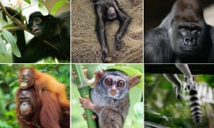 Just a few of the primates listed as endangered or critically endangered by the report. Top row l-r: brown-headed spider monkey, chimpanzee, Western gorilla; Bottom row l-r: Bornean orangutan, Siau Island tarsier, ring-tailed lemur.