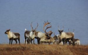 Caribou in the Western Arctic reserve in Alaska