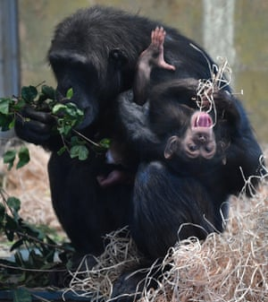 Adelaide, Australia: A chimpanzee holds her baby in the enclosure at the Monarto zoo during a visit by the renowned primatologist Dr Jane Goodall