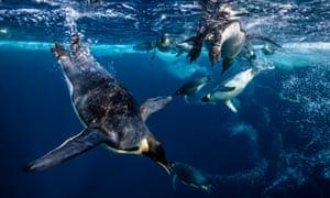 emperor penguins swim in antarctic waters