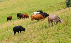 Livestock are a leading source of the rise in methane levels.