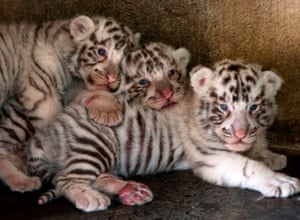 Nuevo León, Mexico Three white tiger cubs born in captivity three weeks ago at La Pastora zoo in Monterrey
