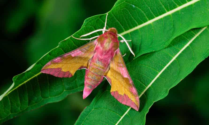 An elephant hawk moth ... 'The wilder you are the more amazing life is.'