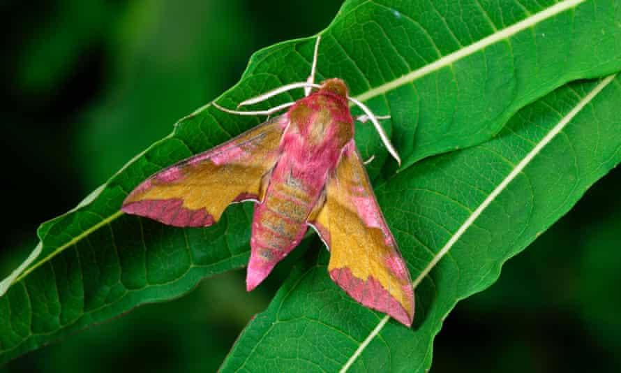 A small elephant hawk-moth