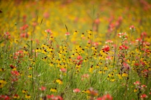 Wild flowers – brown bitter weed and indian paintbrush – in the hill country around Austin and San Antonio in Texas