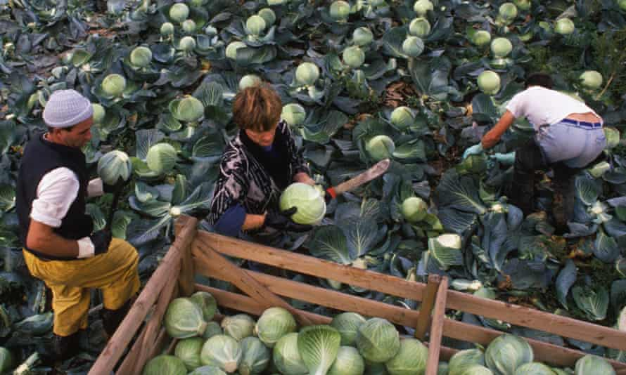 Workers picking vegetables in East Anglia