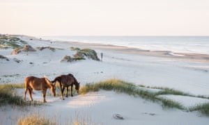 Sea horses: grazing on the remote Outer Banks.