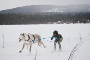 A reindeer and jockey cross the finish point of the 2km race.