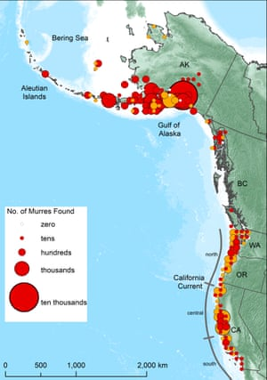 A map of the U.S. and Canadian west coasts show the extreme mortality of murres, seabirds who died in mass from a giant heat blob off New Zealand's coast.