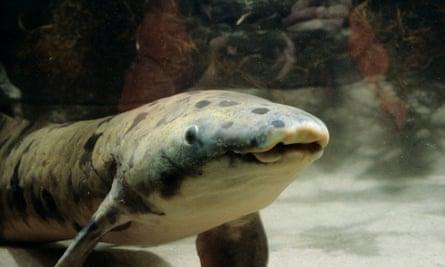 Granddad was acquired by the Shedd Aquarium in 1933.