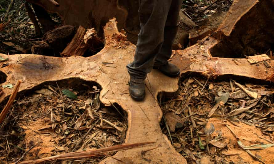 A chainsaw operator stands on the cut roots of a Shiwawaco tree during a forest management project in Inapari, Peru