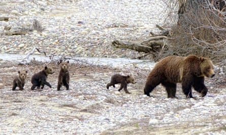 399 the bear with her cubs.