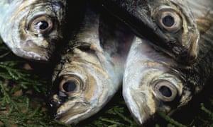 Four Horse mackerels