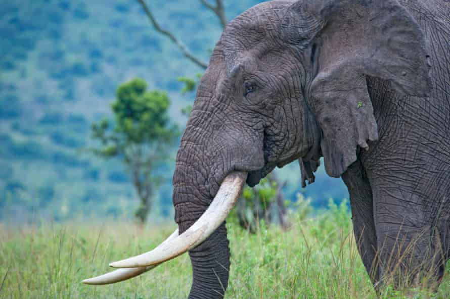 Populations of African elephants have plummeted due to high levels of poaching.