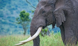 Labor senator Lisa Singh claims 50 Australian auction houses are known to trade in ivory and rhino horns.