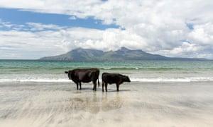 Cows on the beach at eigg
