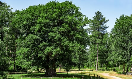 Honywood Oak, on the Marks Hall estate in Essex.