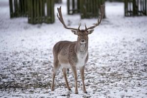 A deer in the National Trust's Dunham Massey Park, Altrincham, Greater Manchester.