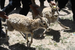 Tibetan antelopes are released at a wildlife rescue centre of the Sonam Dargye Protection Station in Hoh Xil, China
