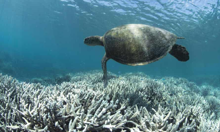 A turtle swimming off Heron Island on the Great Barrier Reef, Australia