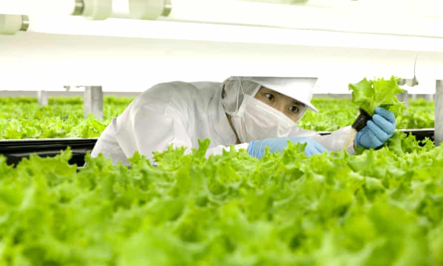 A worker checking lettuces at the indoor farm of Spread company in its Kameoka factory