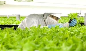 Lettuce in indoor farm