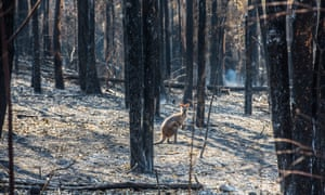 A wallaby stands in burnt-out bush in Rainbow Flat, NSW, where many houses have been destroyed