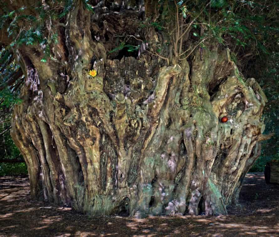 The Ankerwycke Yew